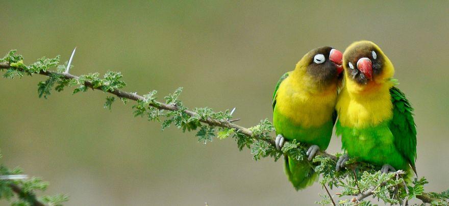 """True Name."" Yellow Collared Lovebirds, Tarangire National Park, Tanzania"