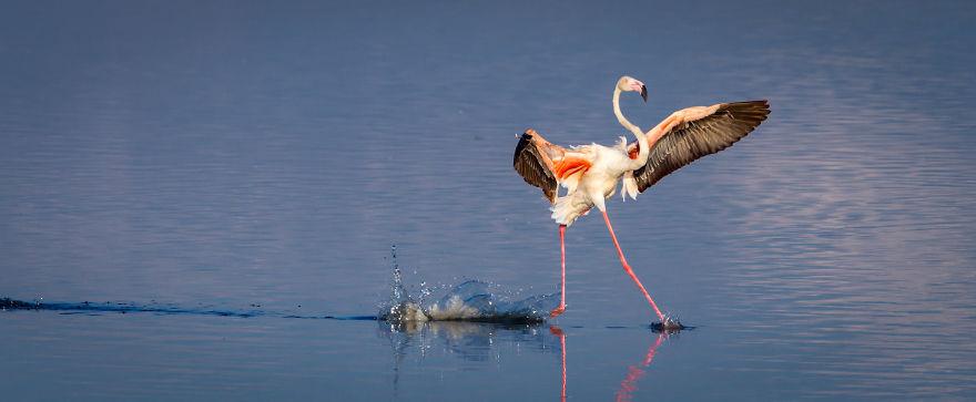 """Walk On Water."" Flamingo, Serengeti, Tanzania"