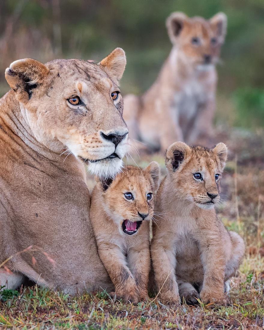 """""""Wowza!"""" Lion Cub, Masai Mara, Kenya"""