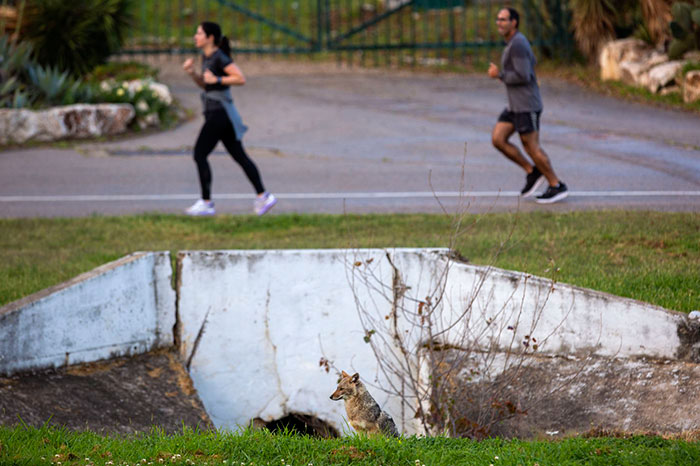 People Jog Near A Jackal At Hayarkon Park In Tel Aviv, Israel
