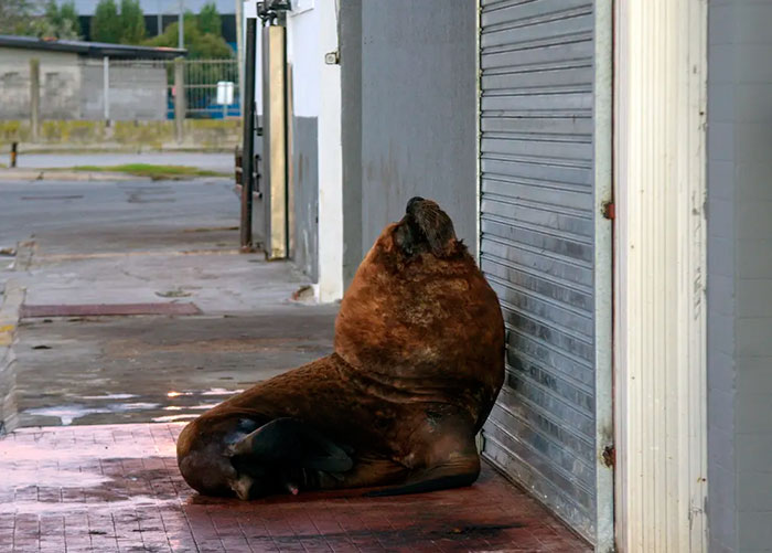 A Sea Lion Is Seen On A Sidewalk Of Mar Del Plata Harbour During The Lockdown