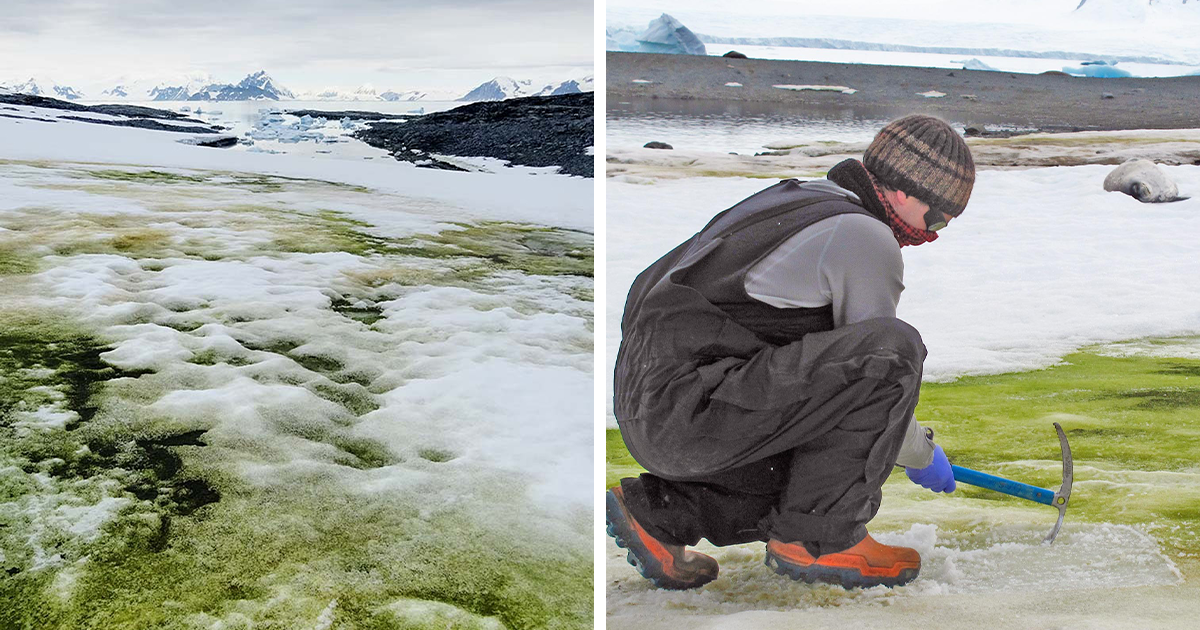 Antarctica Could Turn Green As A Result Of Climate Change Making Algae Bloom