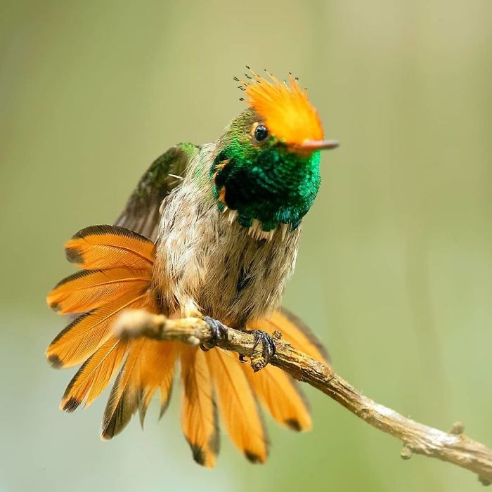 Rufous-Crested Coquette