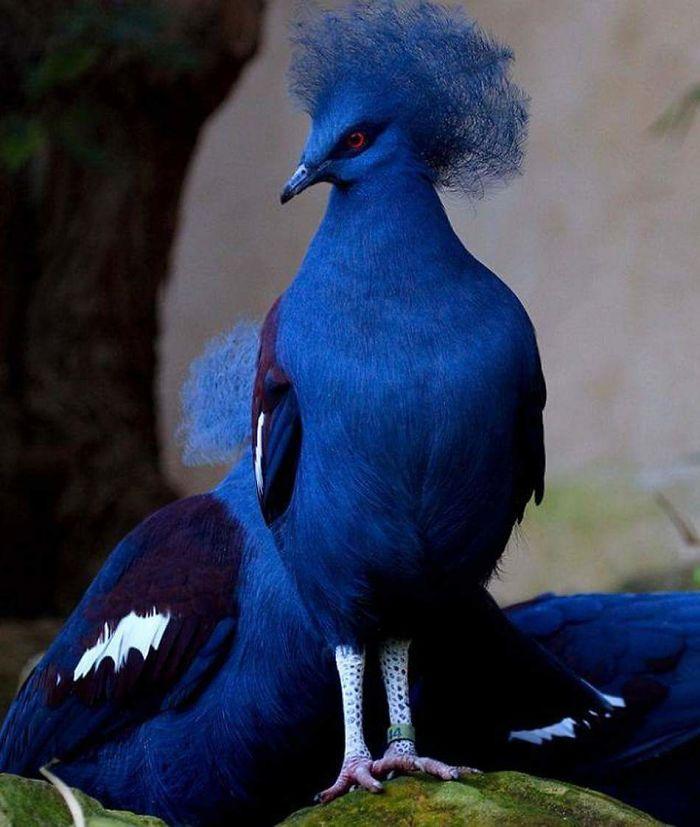 Голубой венценосный голубь