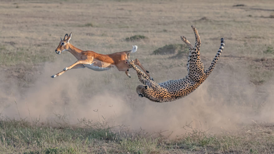 Terrestrial Wildlife, Winner: 'Cheetah Hunting In Maasai Mara' By Yi Liu