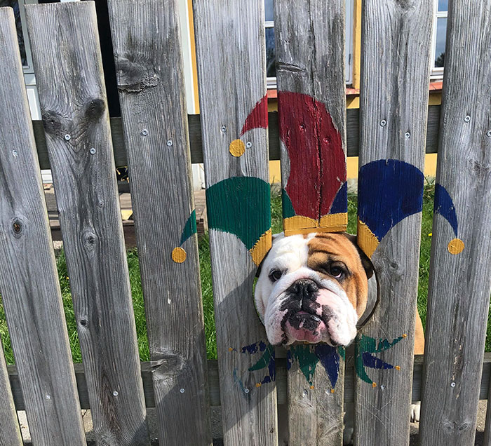 This Bulldog Loves Watching The Street Through A Hole, So His Owners Paint 2 Costumes On The Fence