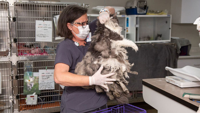 Arizona Humane Society Removes 2 Pounds Of Matted Fur From Fluffer The Cat, She Gets Adopted 2 Days Later