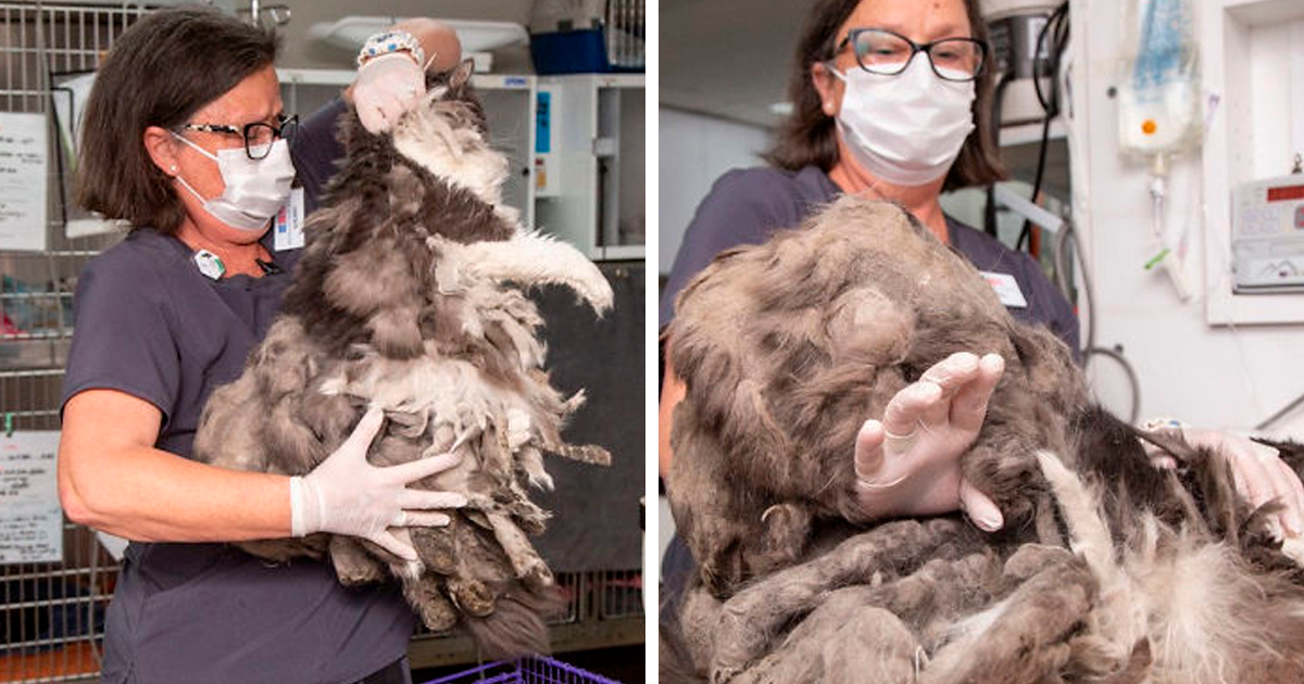 Arizona Humane Society Rescues Fluffer The Cat, Removes 2 Pounds Of Fur From Her Body