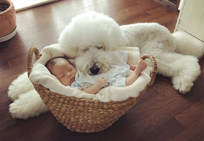 Family's 3 Poodles Have A Special Bond With Their Little Brother And Sister (30 Pics)