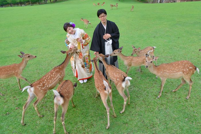 Deer Enjoy Cherry Blossoms In An Empty Park In Nara, Japan