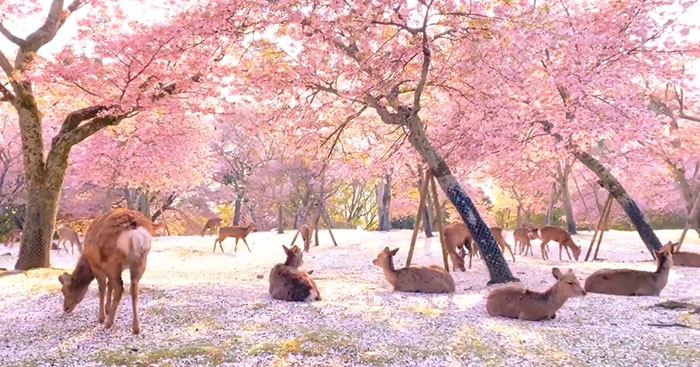 Deer Enjoy Cherry Blossoms In An Empty Park In Nara, Japan