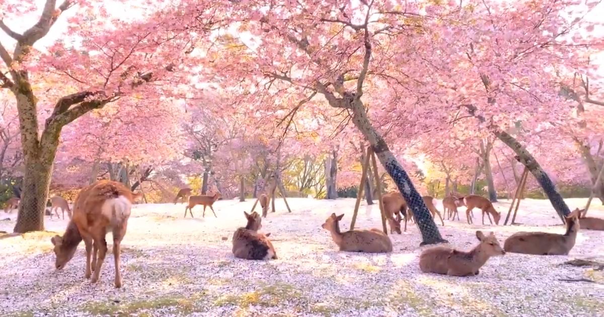 Photographer Captures A Dreamlike Scene In Nara Park Where Deer Enjoy Blossoms