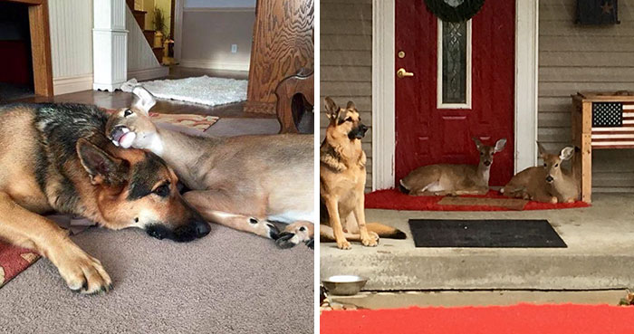 Kind-Hearted Dog Surprises Owner By Comforting The Orphaned Fawns She Rescues