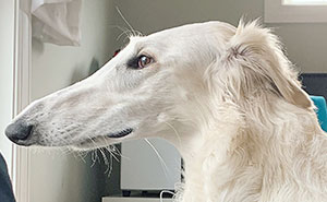 Eris The Borzoi Dog Is Believed To Have The World's Longest 12.2-Inch Snout