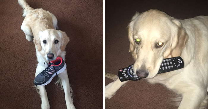 This Golden Retriever Picks Up Random Objects When She's Not Getting Enough Attention (18 Photos)