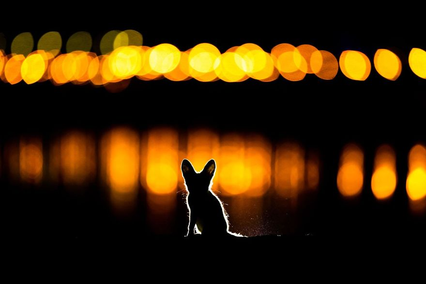 2nd Place, Mammals. Glowing Fox. Arabian Red Fox In Kuwait City By Mohammad Murad
