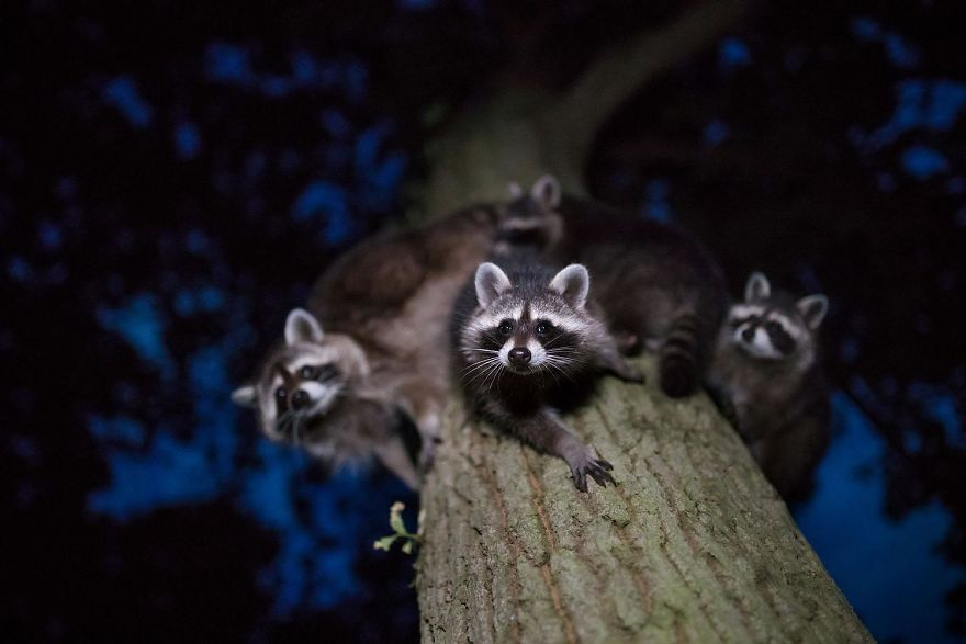 4th Place, Mammals. Curious Glances. Raccoons, North Hesse By Jan Piecha