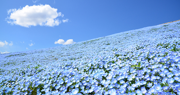 Over 5 Million Tiny Blue Flowers Have Bloomed In This Japanese Park, Unveiling A Magical Sight