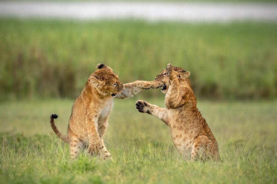 """Lightweight Wrestling."" Lions Cubs, Ngorongoro Crater, Tanzania"
