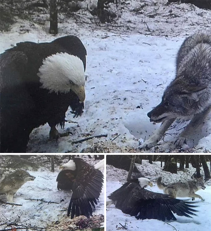 Bald Eagle Size vs. Grey Wolf, Caught On Trail Cam