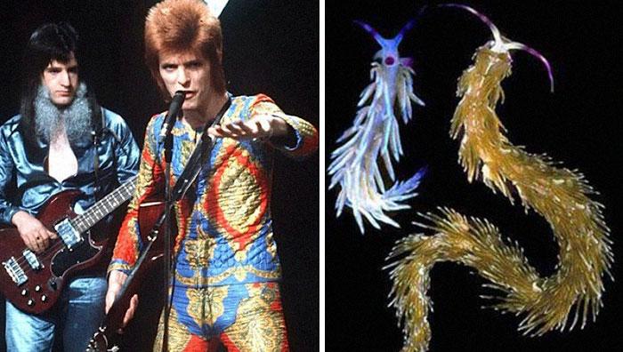 Nudibranchia-Opisthobranchia-David-Bowie