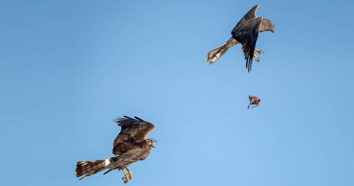Photographer Captures A Rare Sight Of Hawks Exchanging Prey Mid-Air In A Series Of Amazing Pics