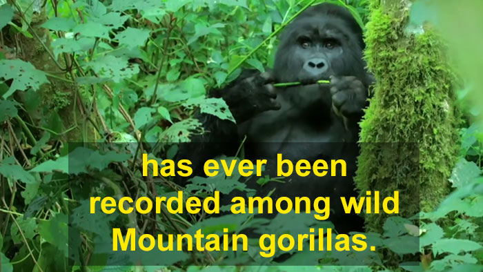 Robot 'Gorilla' Pretends To Be One Of The Pack, Captures Never Before Documented Behavior Of Singing And Farting