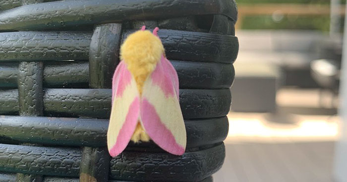 Woman Notices A Fancy Moth In Her Backyard, Turns Out It's The Cosmoth