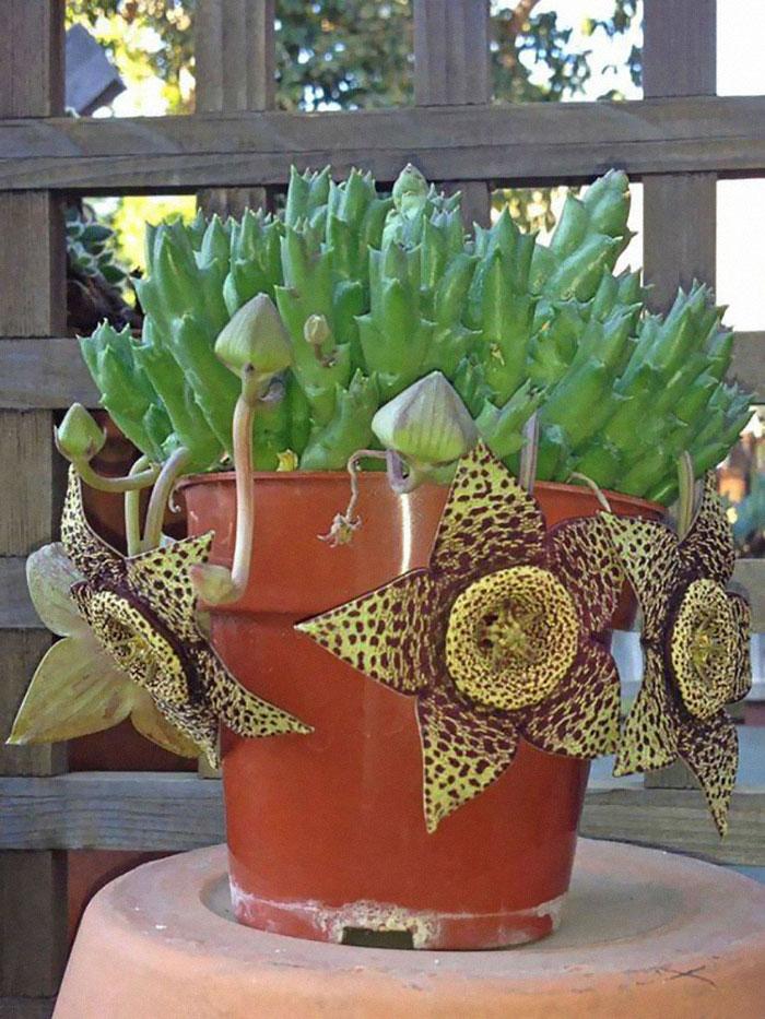 Orbea Variegata (Starfish Plant)