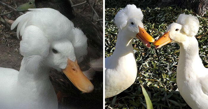 30 Ducks That Look Like 18th-Century Wig-Wearing Aristocrats