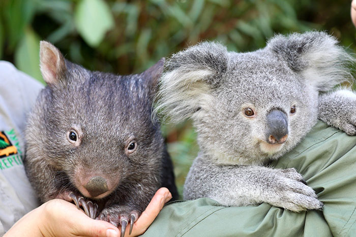 """""""It's Unusual To See Them Interact Like This"""": Surprised Zookeepers Share A Video Of A Koala And A Wombat Becoming Best Buddies During The Lockdown"""