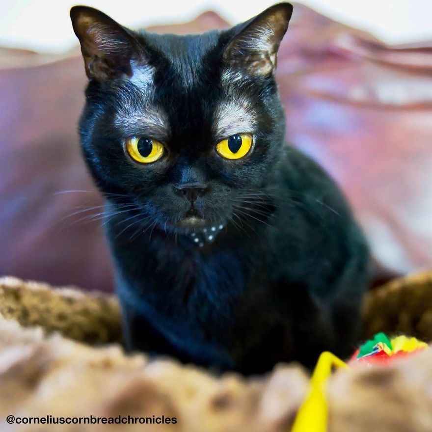 Meet Cornelius Cornbread, The Adorable Kitten With White Eyebrows (19 Pics)