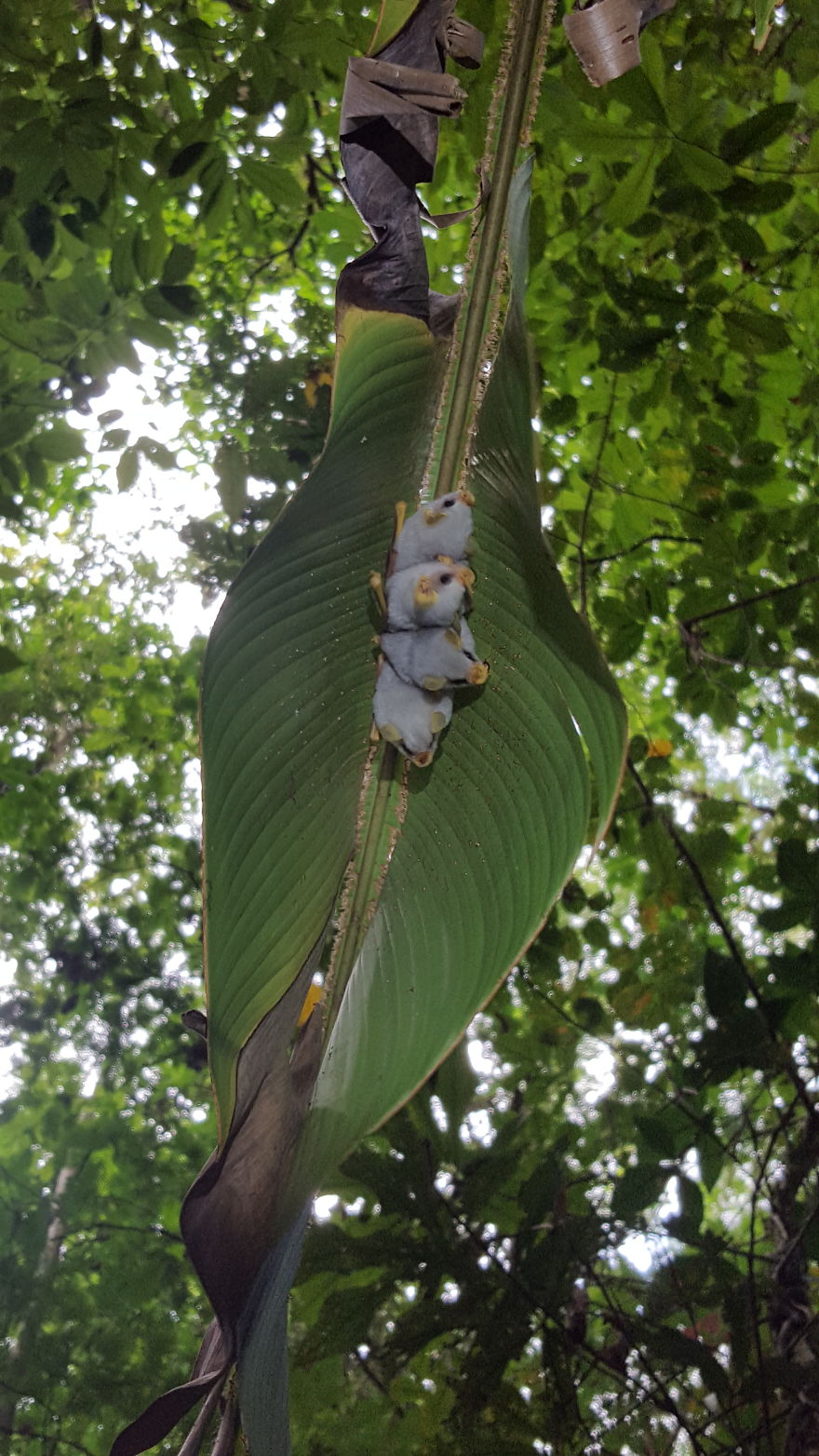 I Traveled To The Costa Rican Rainforest And Photographed Honduran White Bats (5 Pics)