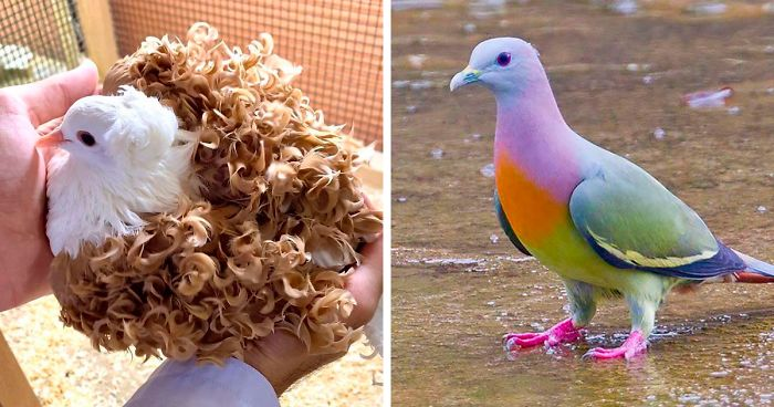 34 Of The World's Most Beautiful Types Of Pigeons