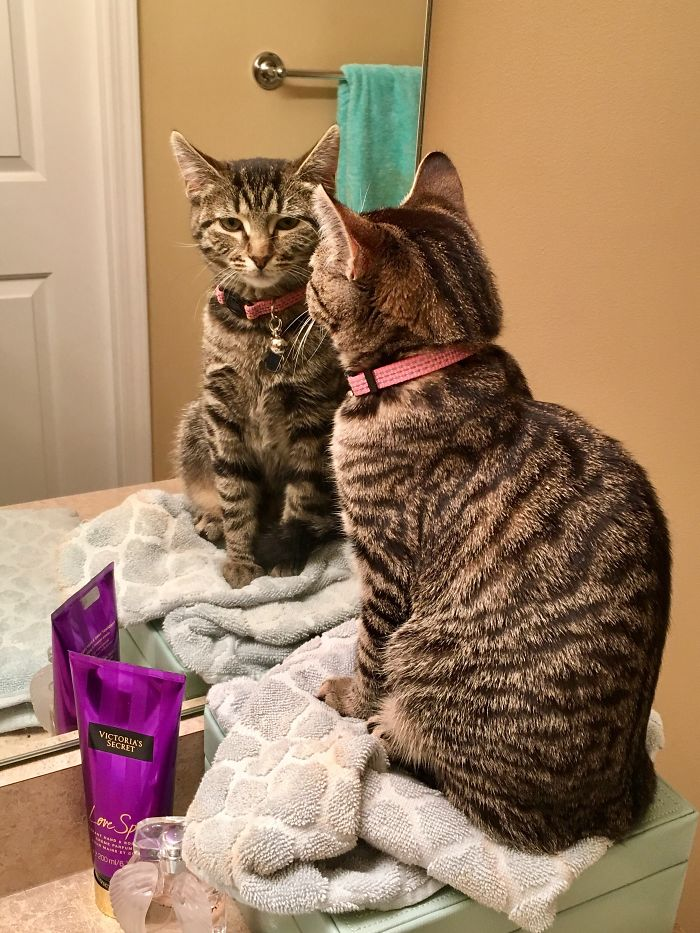 Every Morning When I'm Getting Ready For Work My Cat Protects Me From This Scary Mirror Cat.
