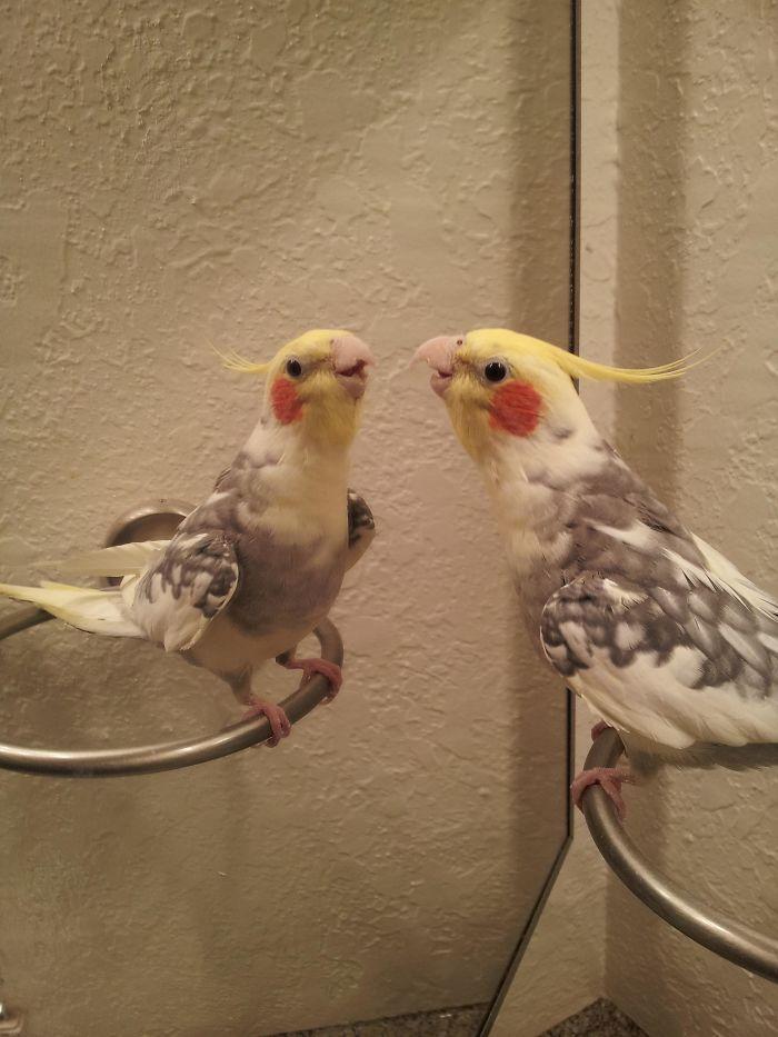 This Is Toki, My Pet Cockatiel, Singing To Himself In The Mirror C: