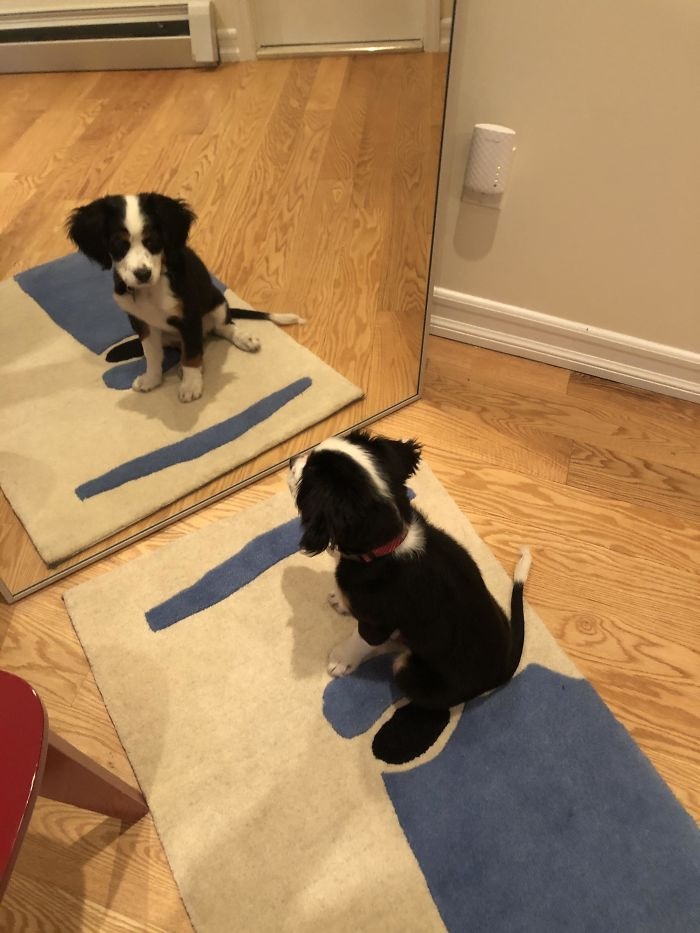 """This Is Winnie. She Is 11 Weeks Old, Has Mastered """"Sit"""" And Doesn't Understand Why She Can't Play With Her Mirror Sister. She Is A Mini Bernese Mountain Dog, And A V Good Girl."""
