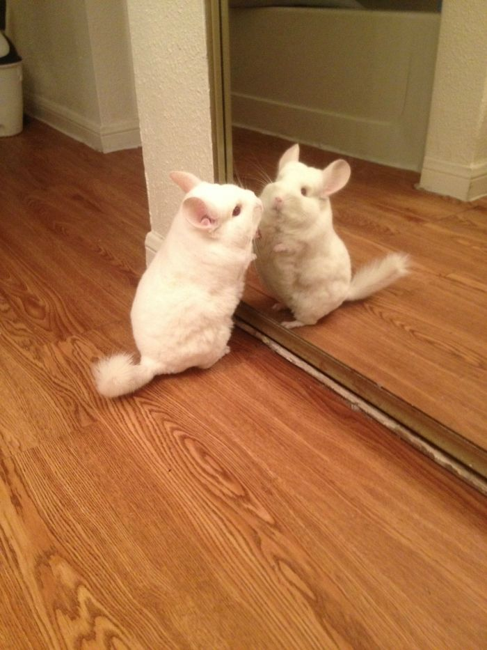 My Chinchilla Saw Himself For The First Time In The Mirror Today