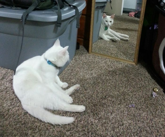 My Cat Often Sits In Front Of The Mirror And Stares Herself Down.