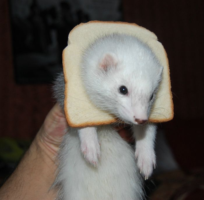 This Is My Ferret. She's Inbread