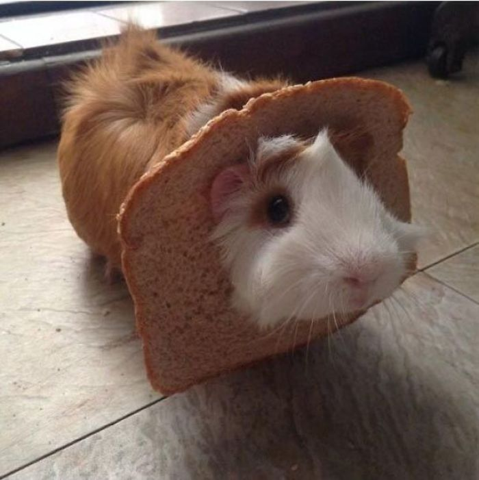 Guinea Pig With Bread Hat