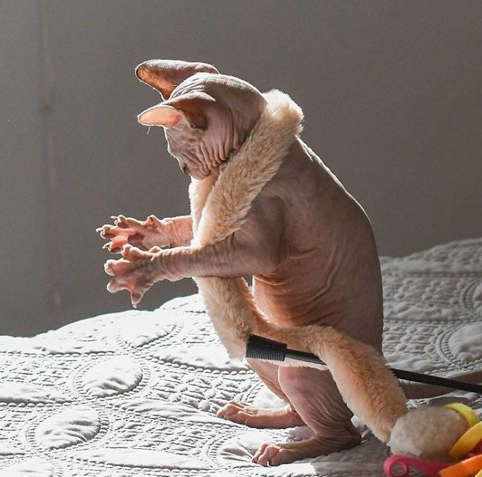 This Hairless Cat Holding It's Paws Out