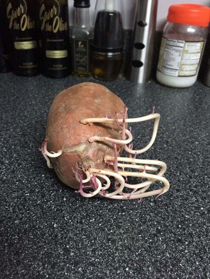 Parece que si rotas la patata cada ciertos días, se queda confusa