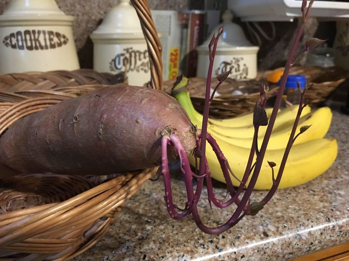 Yesterday I Turned This Potato Upside Down, And Today I Got A Practical Lesson In Gravitropism, The Tendency Of Plants To Alter Their Growth With Respect To Gravity. Bonus: It Turned Into A Lobster