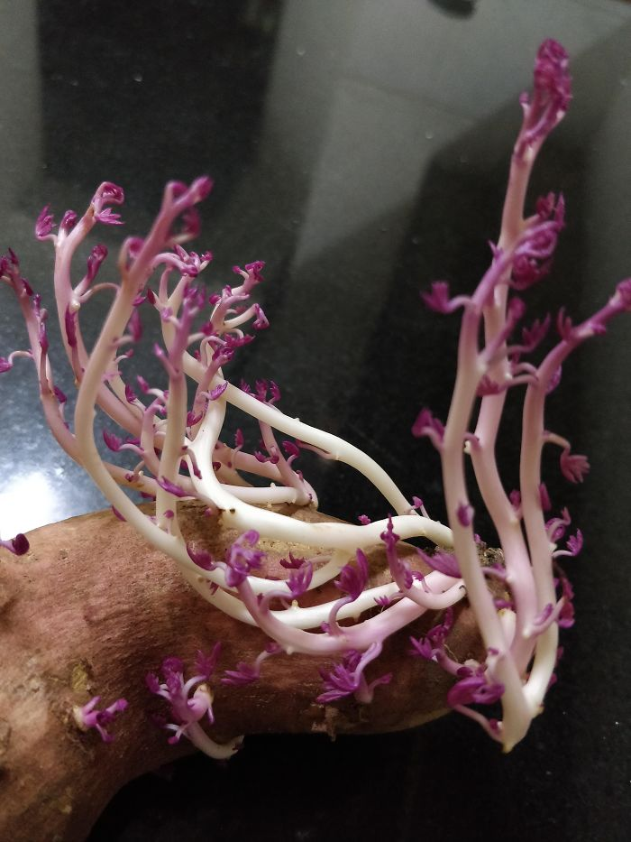 Delicate Sweet Potato Sprouts Look Unearthly And Beautiful, Like Martian Coral