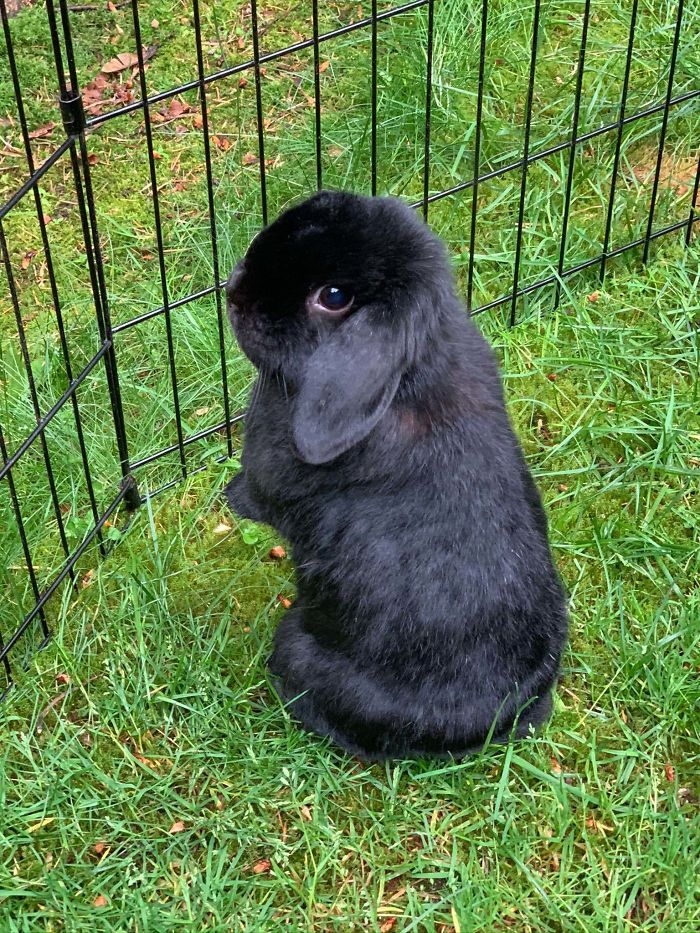 Hello! Here's A Picture Of Onyx, My 1.5 Year Old Holland Lop I Rescued