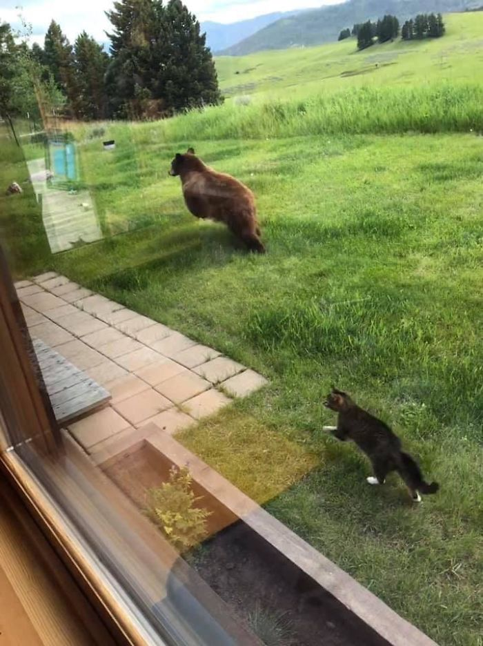 Just Another Day In Montana. Cat Chasing A Bear Out Of The Backyard