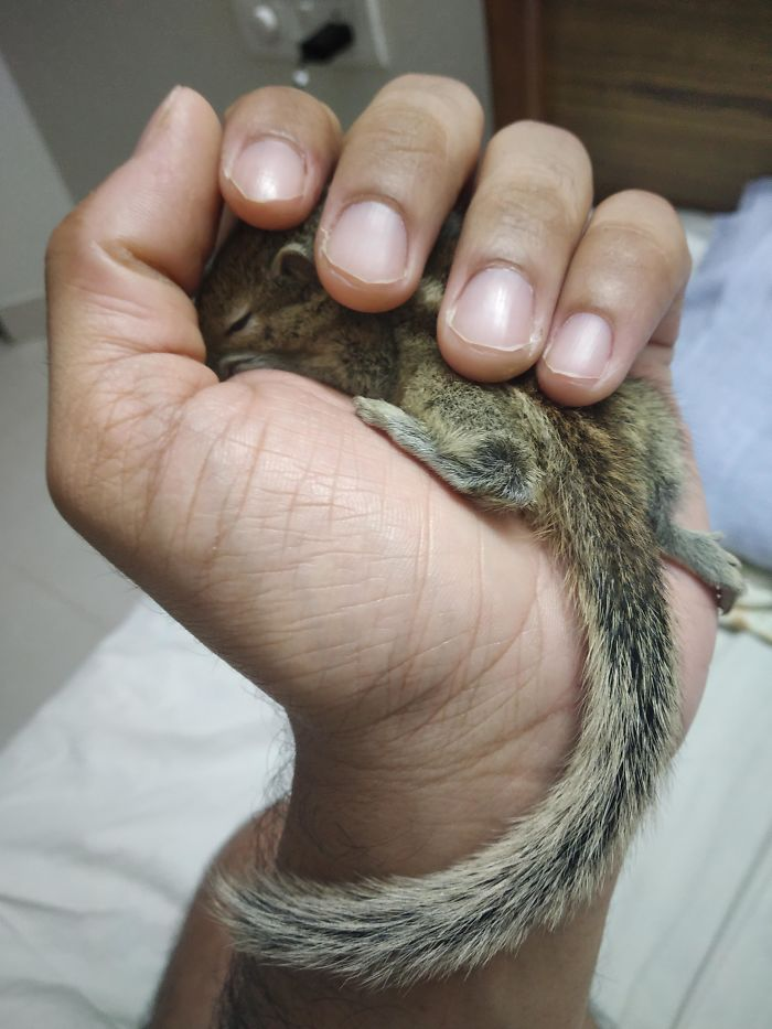 Indian Palm Squirrel In My Indian Palm