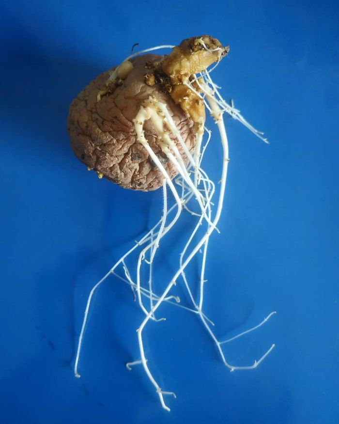 I Found This Sprouted Potato Today, Which Was Hiding In A Cupboard For Along Time. The Roots Tell The Whole Story That The Plant Cant Tell. .seems Like A Familiar Story? Welcome To The Lazy Gardeners Club