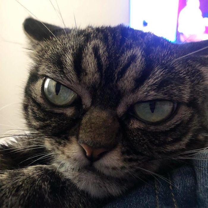 Meet The New Grumpy Cat Called Kitzia That Looks Even Angrier Than Her Late Predecessor